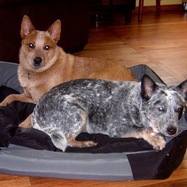 366: Keeping K-9s in Kevlar and Australian Cattle Dog Rescue Inc