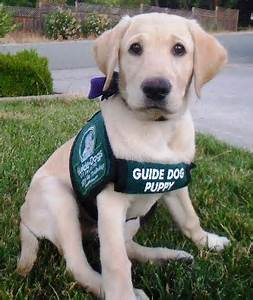 365: Guide Dog competes in competition obedience with blind handler!